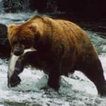 grizzly at katmai park in alaska