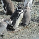 molting penguin chicks