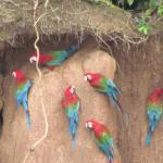 clay lick for parrots Peru's Tambopata Reserve