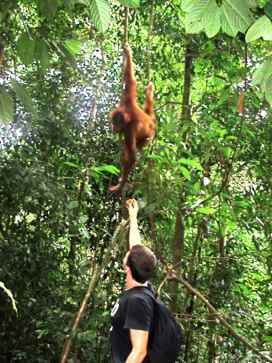 meeting an orangutan in Indonesia