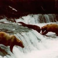 grizzlies fishing for salmon at Brooks Falls in Katmai, Alaska