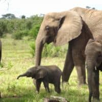 mama elephant with baby in Tarangire