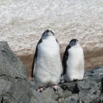 Chinstraps: one of 7 types of penguins that Jeanne met on her trip