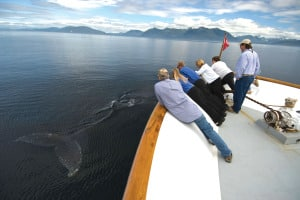 whale watching on Uncruise Alaska