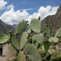 cacti on incan trail peru
