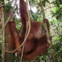 hanging onto the tree in Sumatra Indonesia