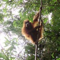 orangutan in reserve Sumatra Indonesia