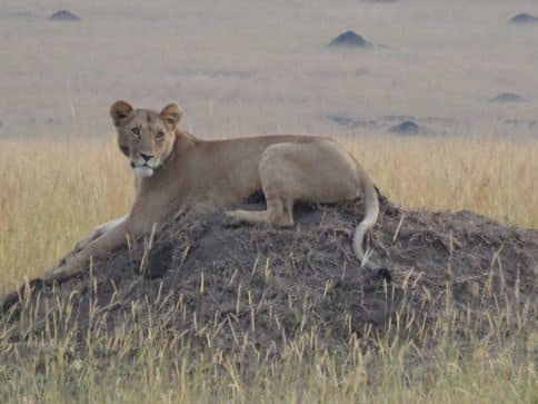 lioness surveying hunt in Kenya