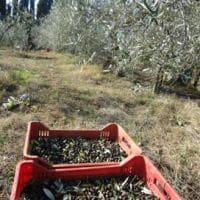 olive harvest tuscany italy