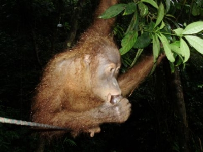 orangutan lunch in Sumatra Indonesia