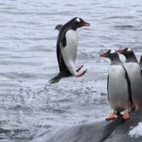 leaping penguin Antarctica