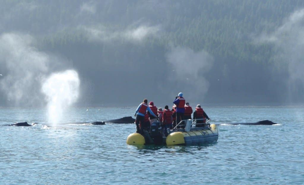 alaska-bubble-netting-whales