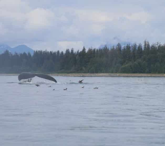 alaska-glacier-bay-kayak-whalesong
