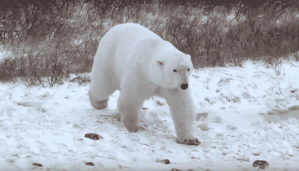 alaska-kuktavik-polar-bear