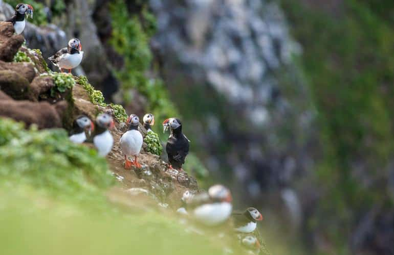 iceland-puffins-nesting-colony