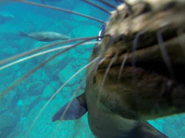 closeup-sea-lion-baja-