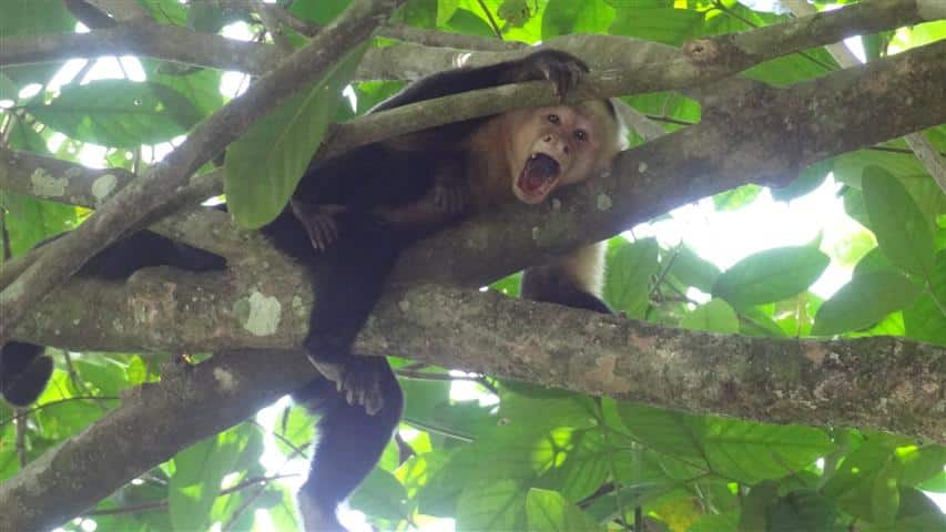 costa-rica-howler-monkey-from-treehouse