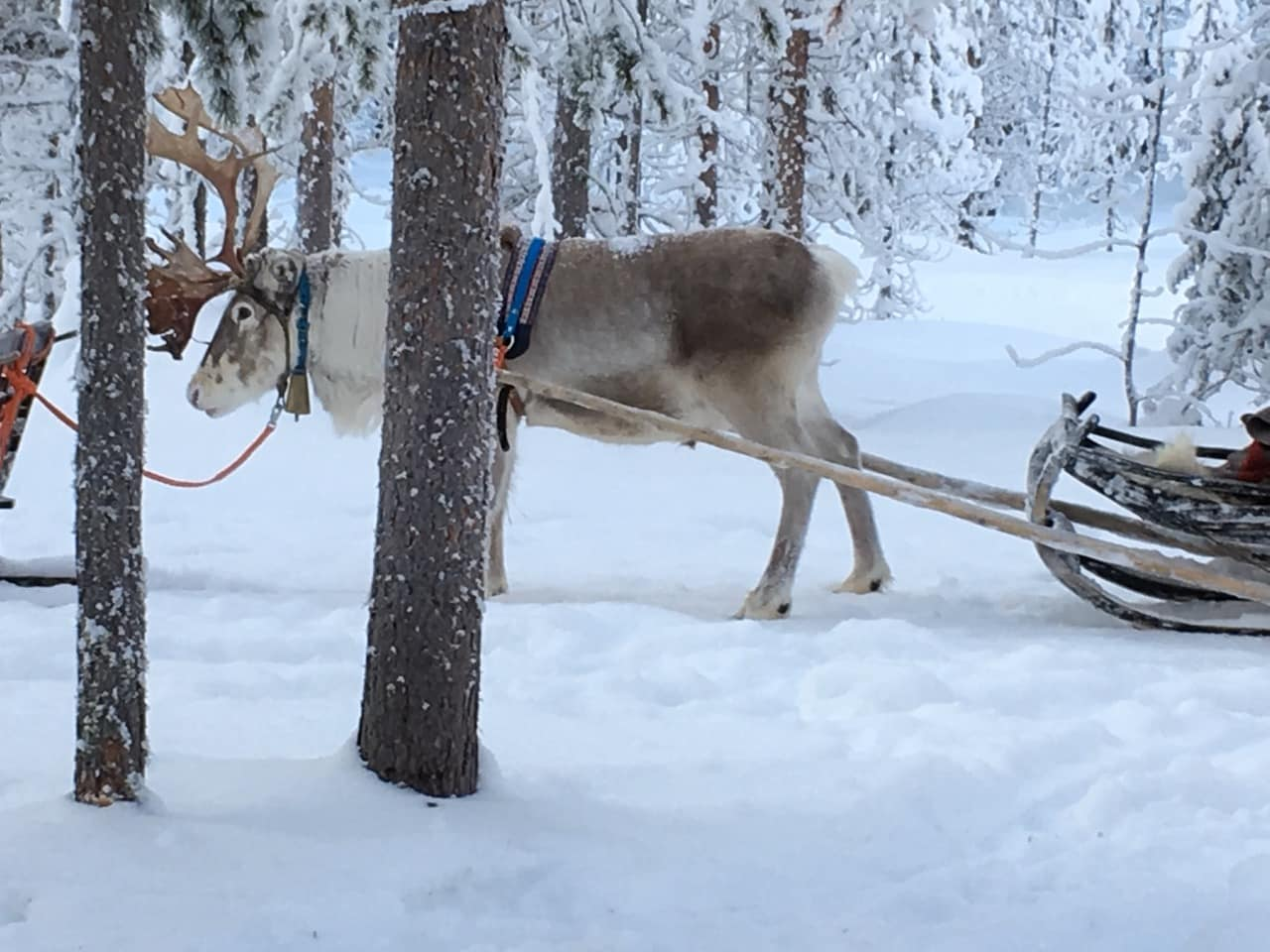 lapland-reindeer-waiting-outside-backcountry-hut