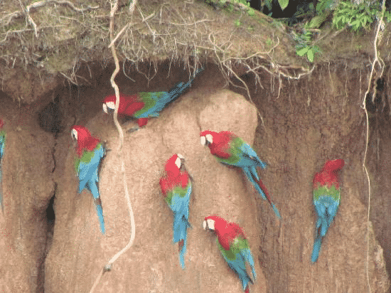 morning-macaw-trips-to-the-clay-licks-of-the-amazon